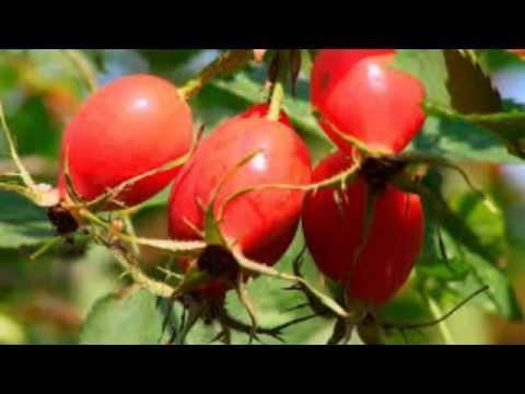 Шиповник обыкновенный, дикая роза.  Лекарственные травы