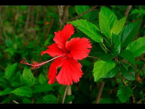 Китайская роза, гибискус, лечение комнатными растениями, рецепты