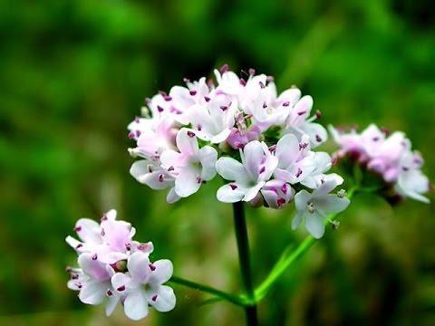 Валерьяна лекарственная. Лекарственные травы