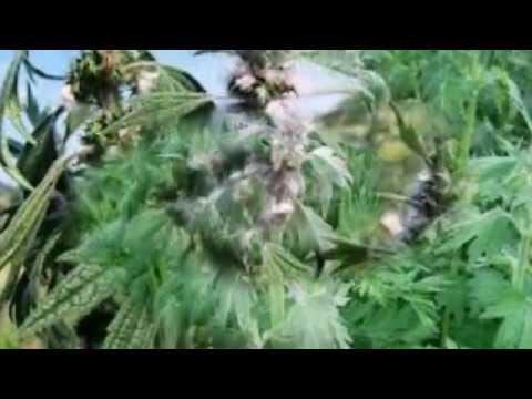 Пустырник. Лекарственные травы