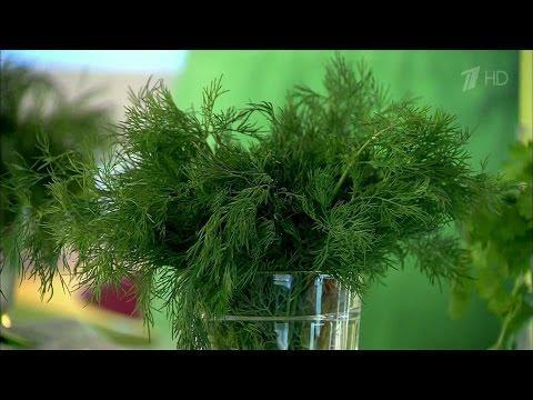 Жить здорово! Укроп. Пряные травы на нашем столе.  (01.07.2013)