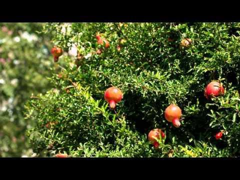 Гранат. Лекарственные травы