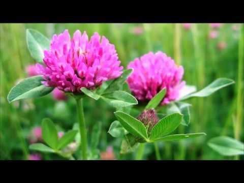 Клевер. Лекарственные травы