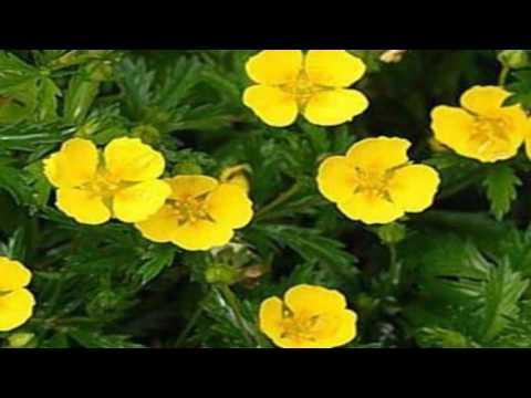 Калган. Лекарственные травы