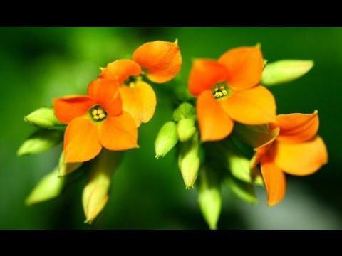 Каланхоэ лечение комнатными растениями рецепты