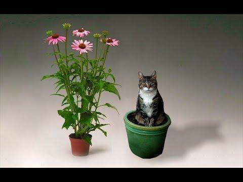 Лечебные травы на Вашем подоконнике  Эхинацея 6 рецептов лечения