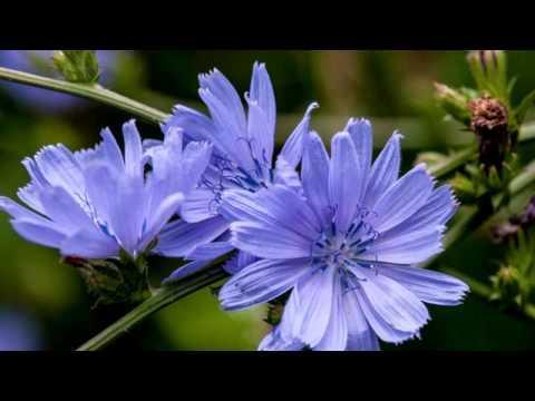 Цикорий обыкновенный.  Лекарственные травы