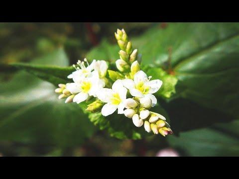 Гречиха посевная в народной медицине. Свежие листья гречихи и отвар цветков гречихи