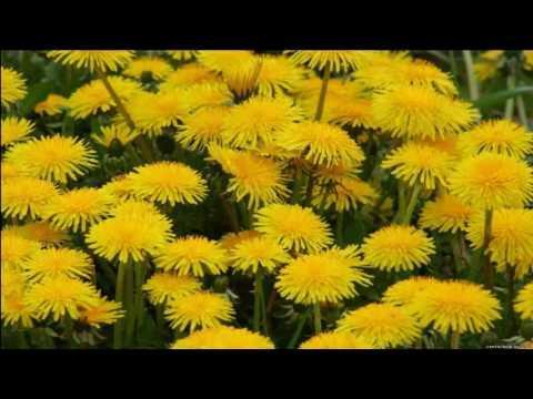 Одуванчик. Лекарственные травы