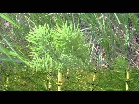 Хвощ полевой.  Лекарственные травы