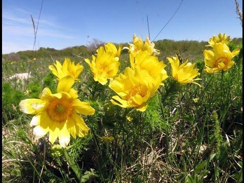 Адонис. Горицвет весенний. Стародубка. Лекарственные травы.