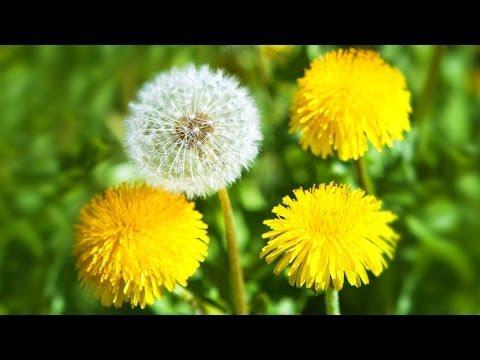 Одуванчик лекарственный (русский цикорий). Свойства, противопоказания, состав корней и цветков