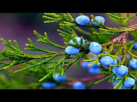 Можжевельник. Лекарственные травы