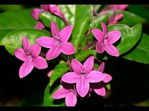 Золотой ус дихоризандра рецепты лечения комнатными растениями